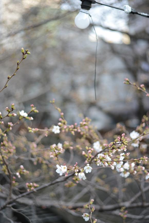 桜。中目黒(目黒川)でお花見。