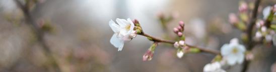 手ぶらデートでお花見するなら、東京の中目黒(目黒川)がおすすめ。